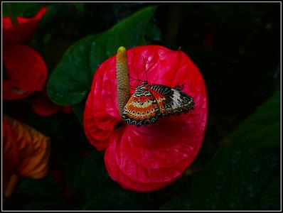 Butterfly Garden (Hunawihr - Alsace ) 2017