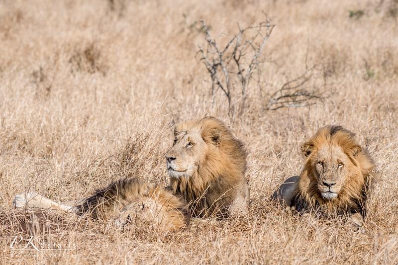 3 Male lions