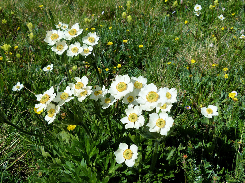 March Marigold wildflowers