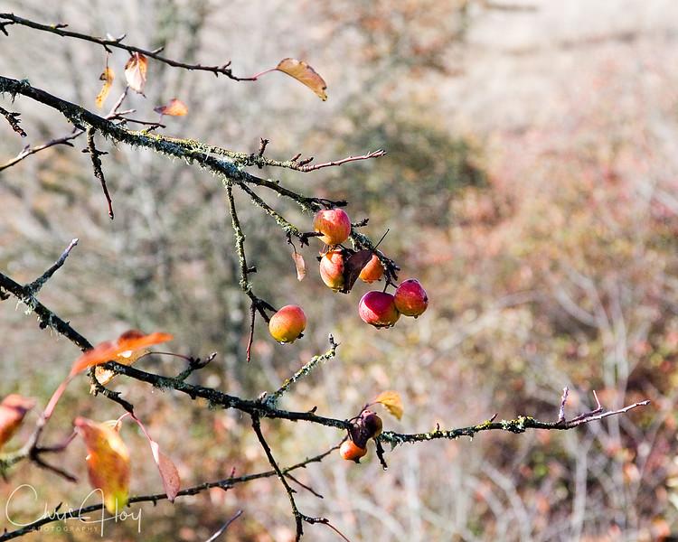 Fall Apples.jpg
