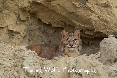 Felids (Bobcats, Cougars, Lynx & more)