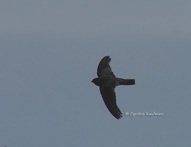 Apodidae - Swifts