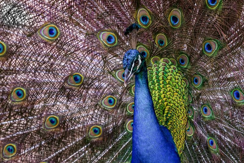 Indian Peacock - Plummage