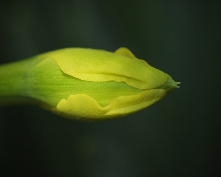 Tulip_Birth_2010.jpg