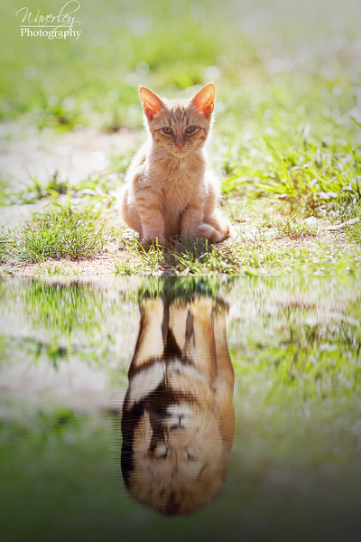 Kitten Reflection.jpg
