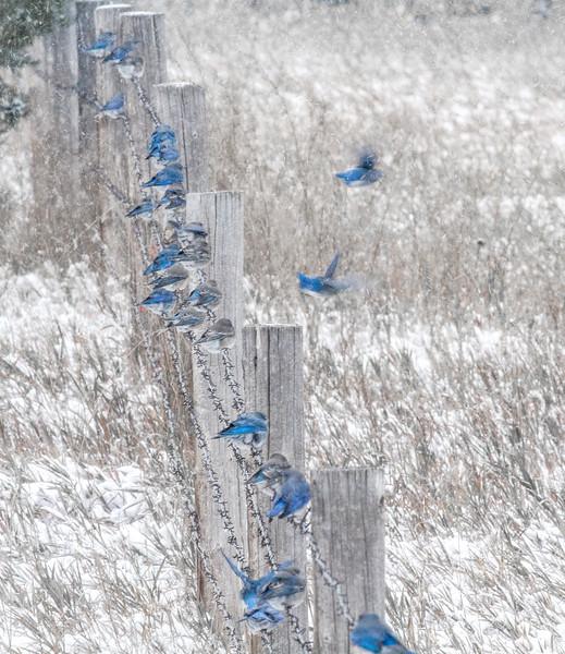 Mountain Bluebird flock on barbed wire fence in snow Theodore Roosevelt National Park Medora ND -1867.jpg