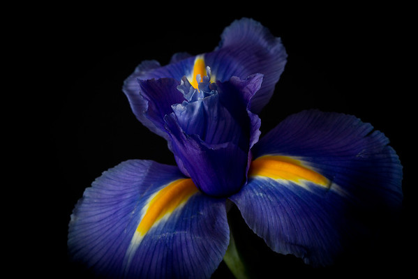 Irises, Lillies, Daisies, and Carnations
