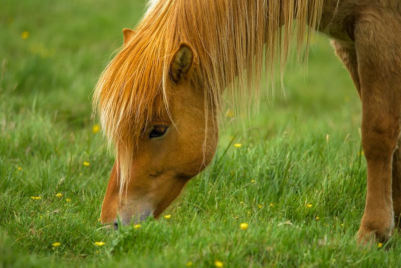 ICELAND-HORSES-17.jpg