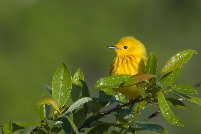 Warbler - Yellow - Carlos Avery NWR - MN