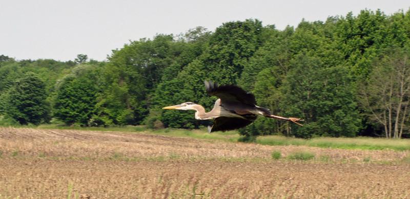 Lucky shot...Great Blue Heron cruising along the creek adjacent to the Chippewa Inlet Trail, Medina, Ohio.