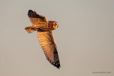 Short-eared Owl 12-18