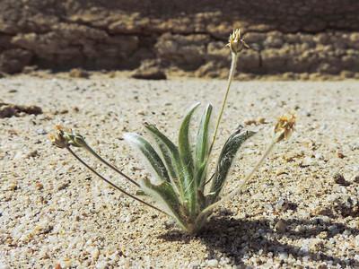 Desert Plantain  (Plantago ovata)