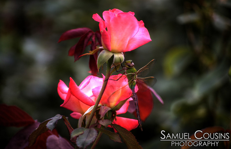 A dragonfly next to roses in the Deering Oaks garden