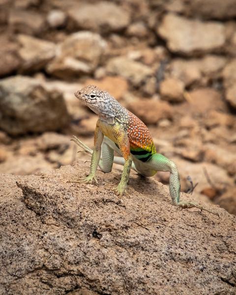 Texas greater earless lizard Big Bend Nat Park-0739.jpg