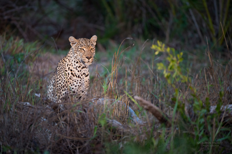 Leopard (Salayexe), Sabi Sands (EP), SA, Sept 2015-4.jpg