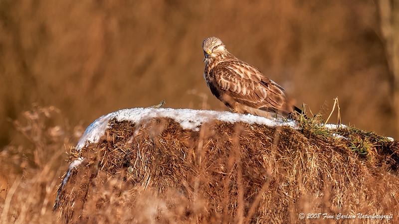 Fjeldvåge (Buteo lagopus - Rough-legged Buzzard) - Tårnfalk (Falco tinnunculus - Common Kestrel)