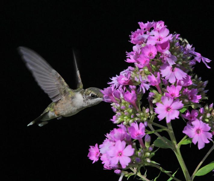 Female ruby throat hummingbird  2