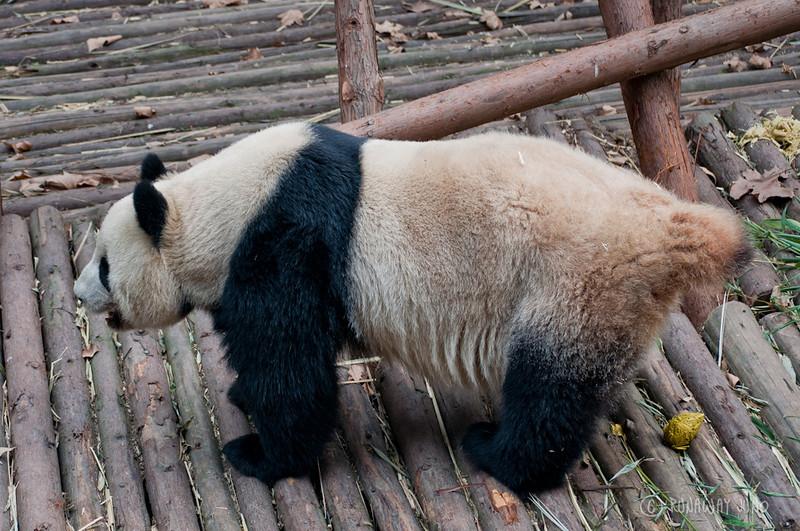Panda_poo_Chengdu_Sichuan_China.jpg