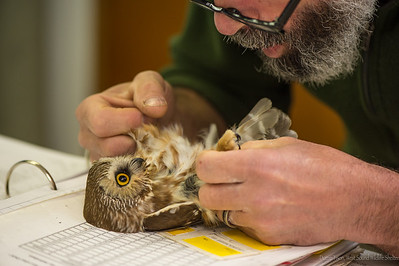 Saw Whet Owl 2016