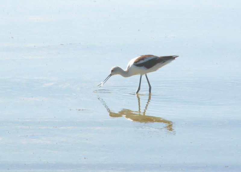 Avocet Antelope Island UT