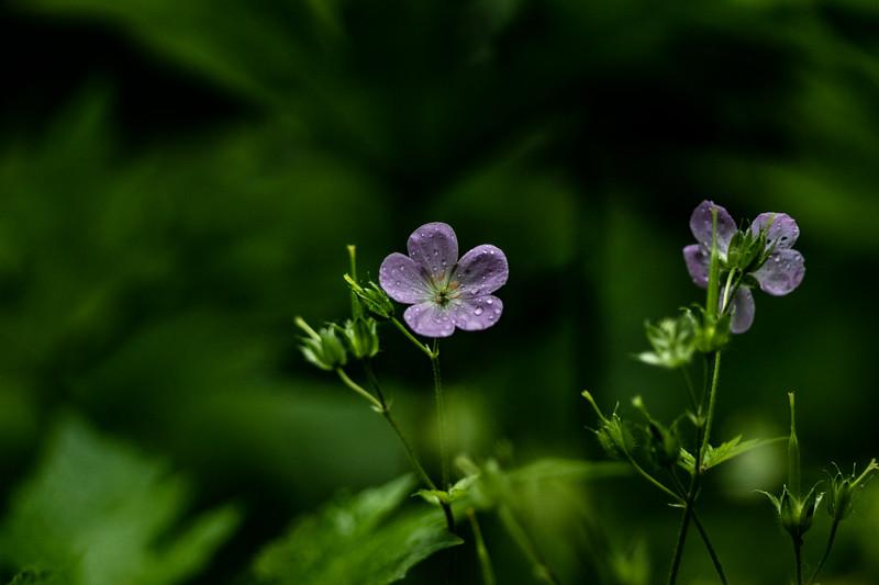 Arboretum Flower Iris-06357.JPG