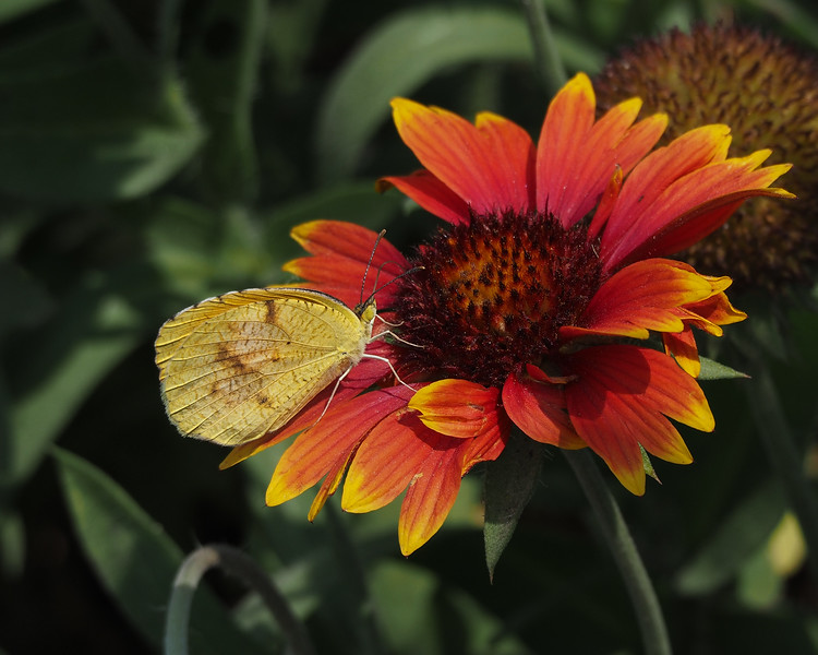 Sleepy Orange, female on Indian Blanket flower