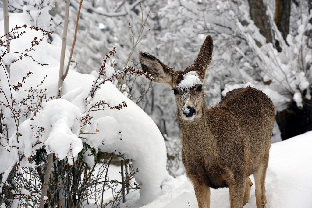 . A young deer, covered with snow, looks for food on a tree amongst the snowy limbs in Boulder, CO on April 16, 2013. A spring snowstorm, dumped over 14 inches of snow in Boulder, CO  and more snow is in the forecast.   (Photo By Helen H. Richardson/ The Denver Post)