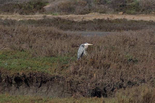 SAN DIEGUITO LAGOON ~ BIRDS