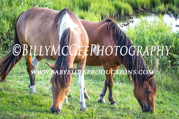 Assateague Island Horses - 15 Aug 2013