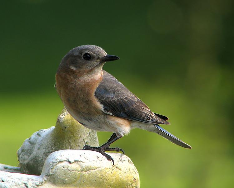 bluebird_6180.jpg