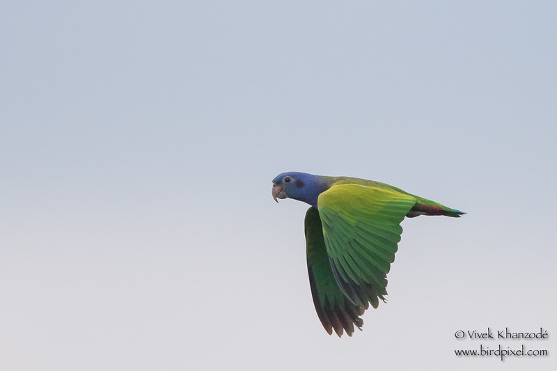 Blue-headed Parrot in flight - Tambo Blanquillo Clay Lick, Manu Biosphere Preserve, Peru