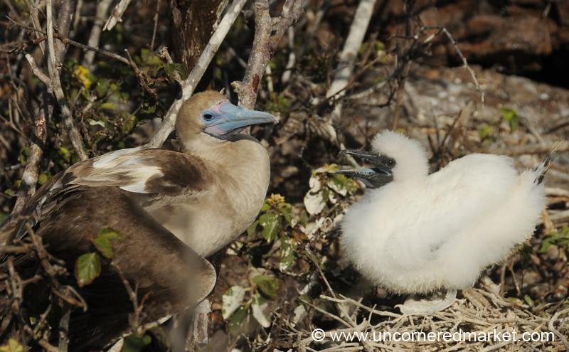 Red Footed Boobies, Mother and Baby - Galapagos Islands
