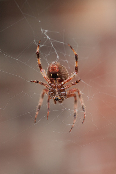 Orange Spider Macro (2 of 2)