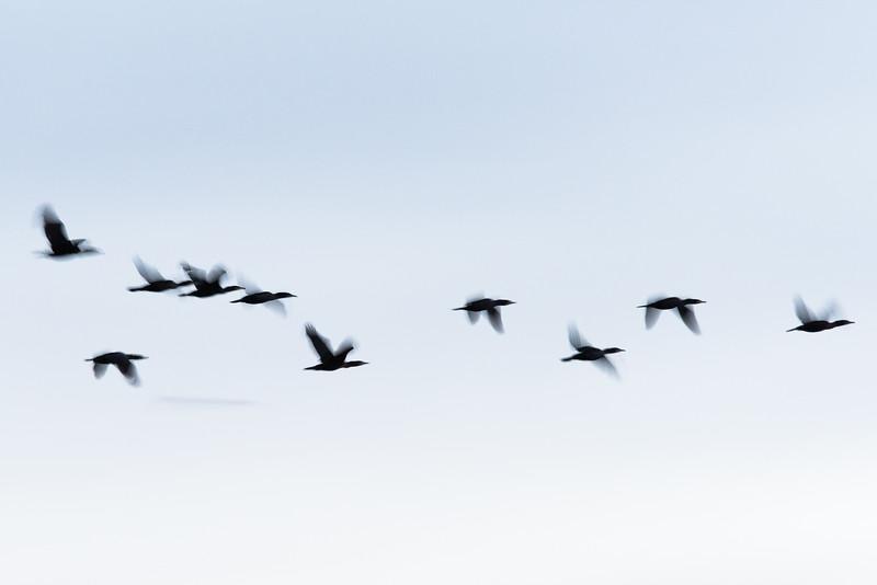 Cormorant , Storskarv