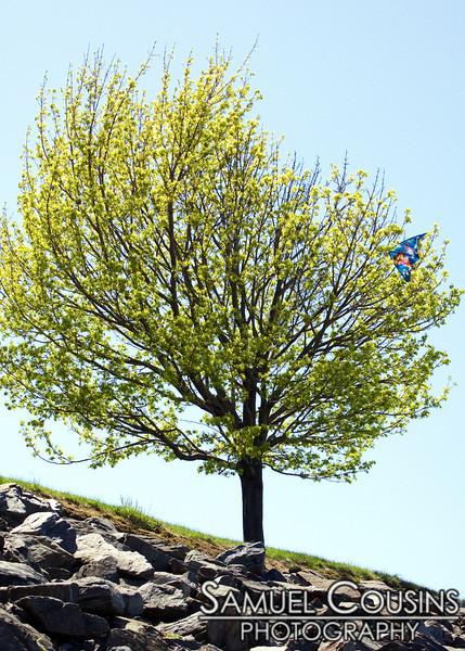 The kite-eating tree of the Eastern Promenade