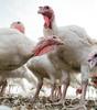 Free-raning happy curious turkeys raised on a small-scale organic farm
