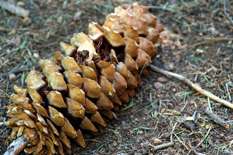 big pine cone.jpg