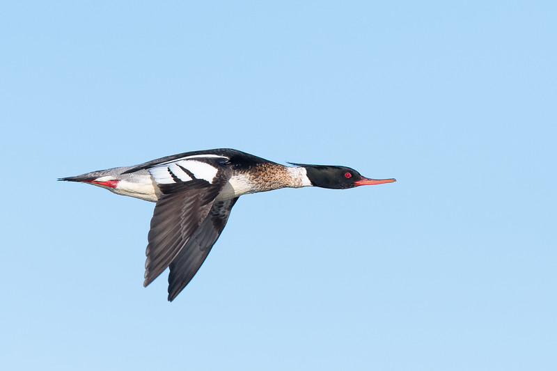 Red breasted merganser , Småskrake