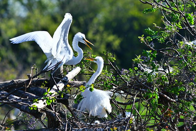 Smith Oaks Rookery:  March 15, 2017  Great Egrets, Rosette Spoonbills & Neotropic Cormorants