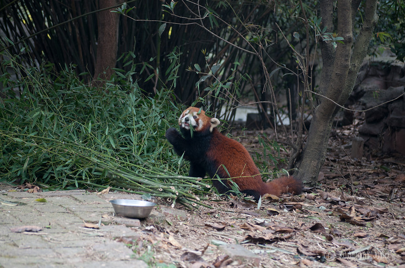 Red_Panda_Eating_Chengdu_Sichuan_China2.jpg