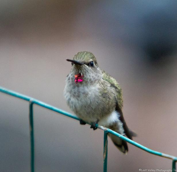 Hummingbird-1731.jpg
