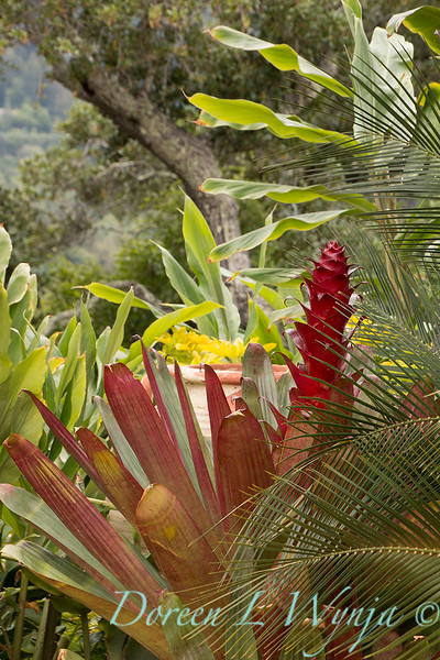 Alcantarea imperialis with flower spike with Macrozamia communis fronds_0601.jpg