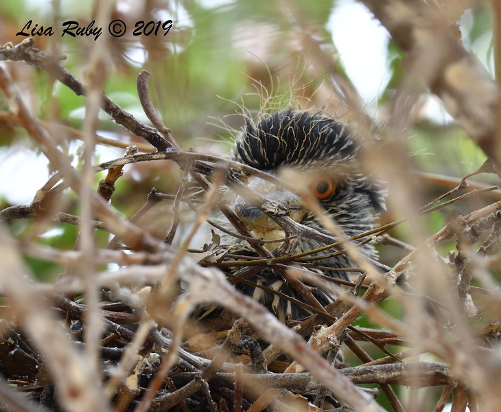 Night Heron nestling  - 6/24/2019 - Imperial Beach Sports Park