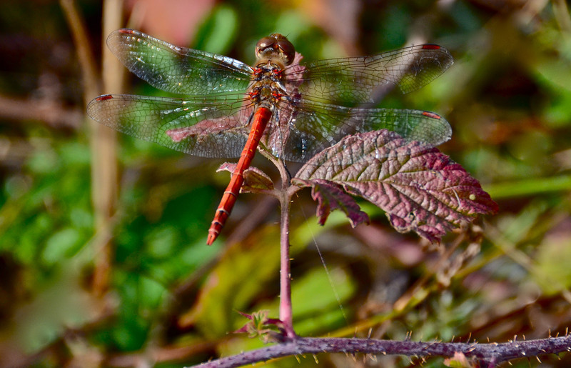 Dragonfly, Dobromirka, Bulgaria