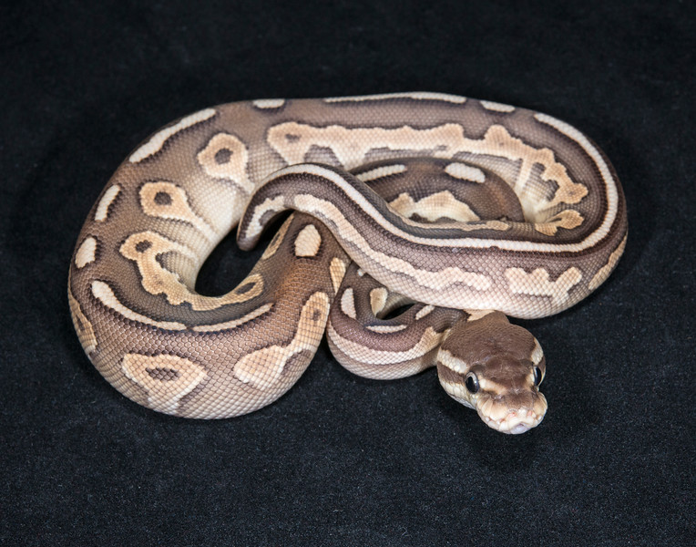 014FCL, female Cinnamon Lesser, $175