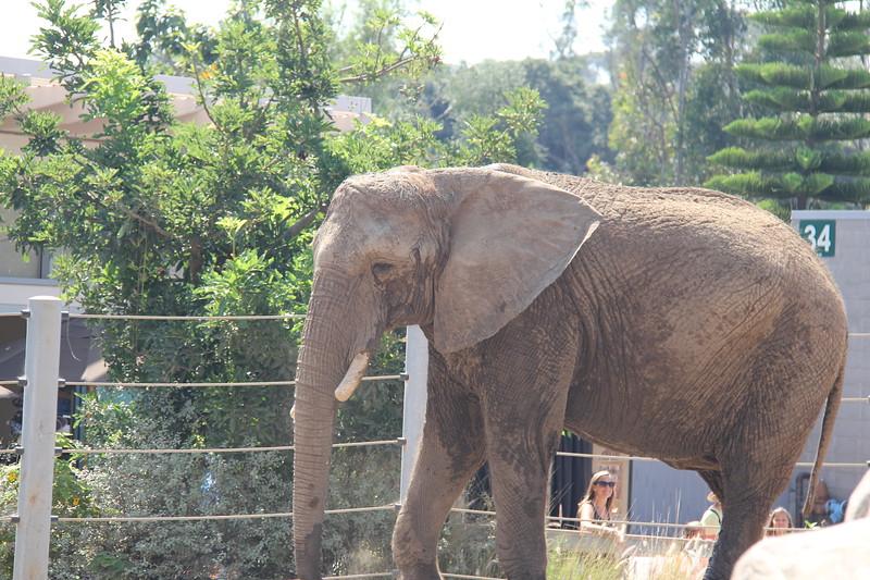 20170807-013 - San Diego Zoo - Elephant.JPG