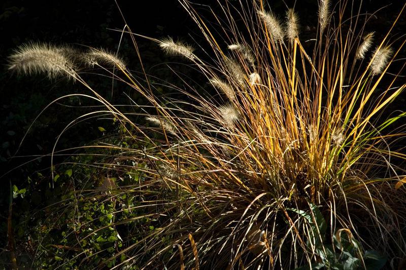 pennisetum grass in morning light