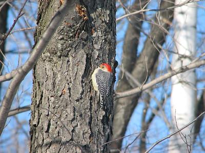 20060218 Red-bellied Woodpecker