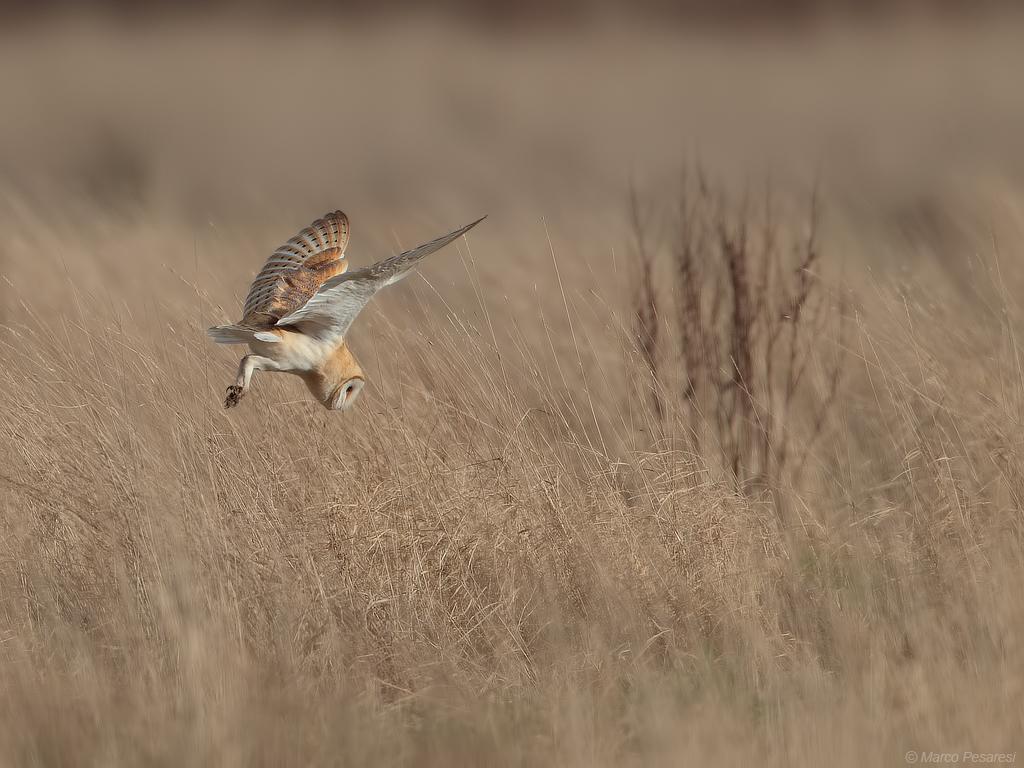 12. Barn Owl