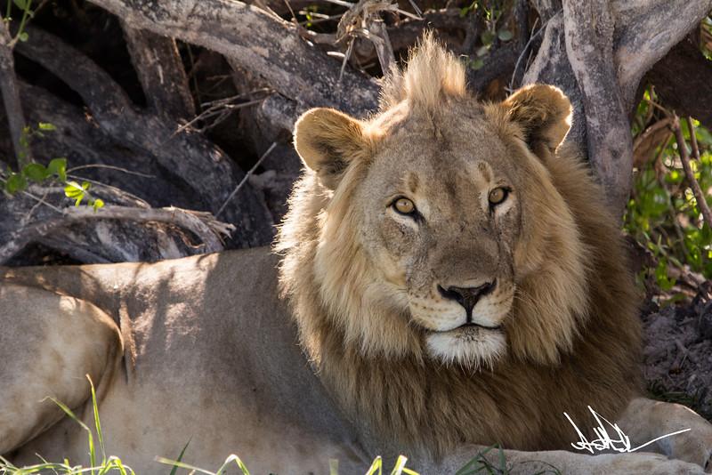 Lions Etosha-S-13.jpg